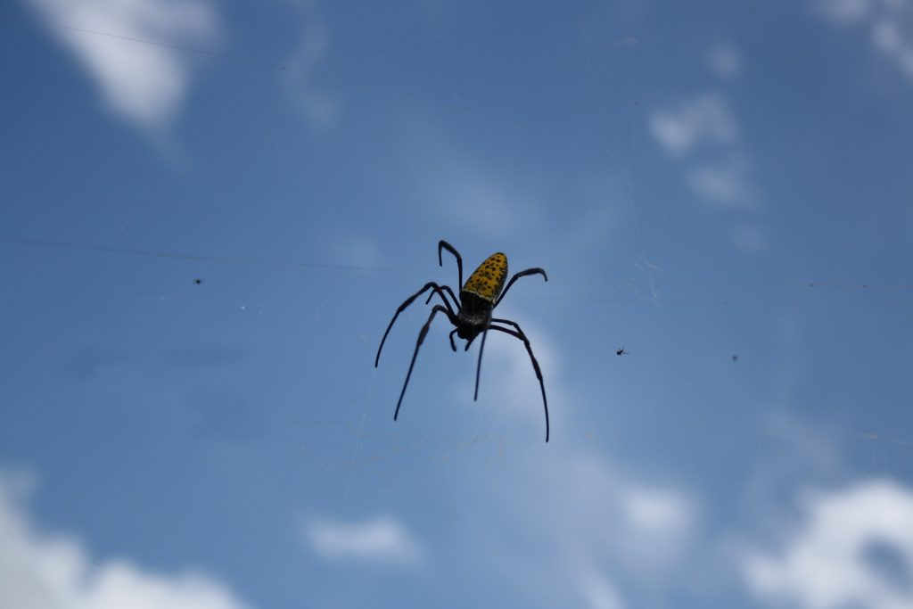 Araña en telaraña