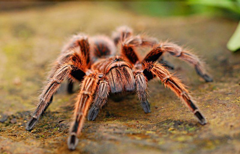 araña tipo tarántula