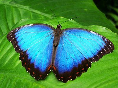 Mariposa azul sobre una hoja.